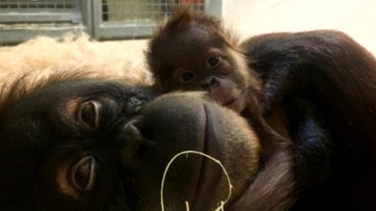 Mały orangutan, który przyszedł na świat przez cesarskie cięcie, już pod opieką mamy